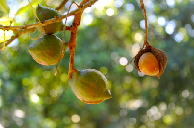 Die Reise der Australischen Macadamia