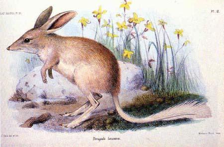 Ostern in Australien: Bilbies statt Hasen