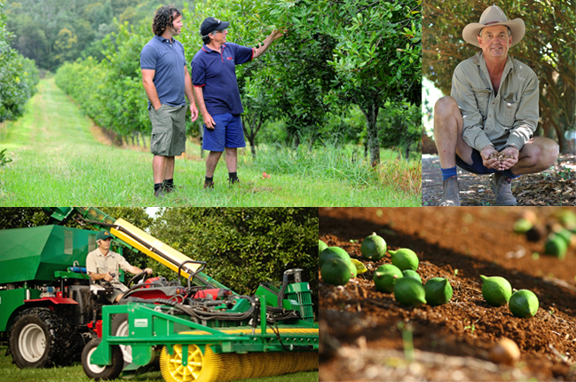Macadamia-Ernte 2014: 40.000 Tonnen werden erwartet