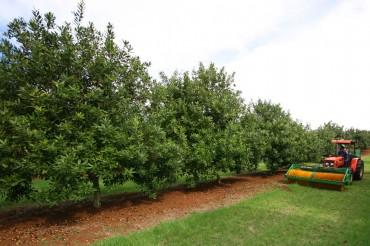 Dürfen wir vorstellen: Der Macadamia Baum