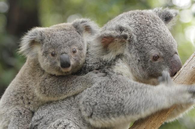 Der Koala: Die Couch-Potato Australiens