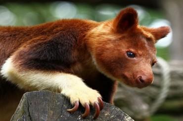 Das Baumkänguru: Das geheimnisvollste Tier Australiens