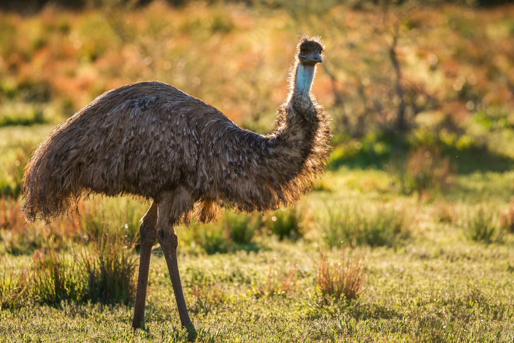Australische Fauna: Der Große Emu