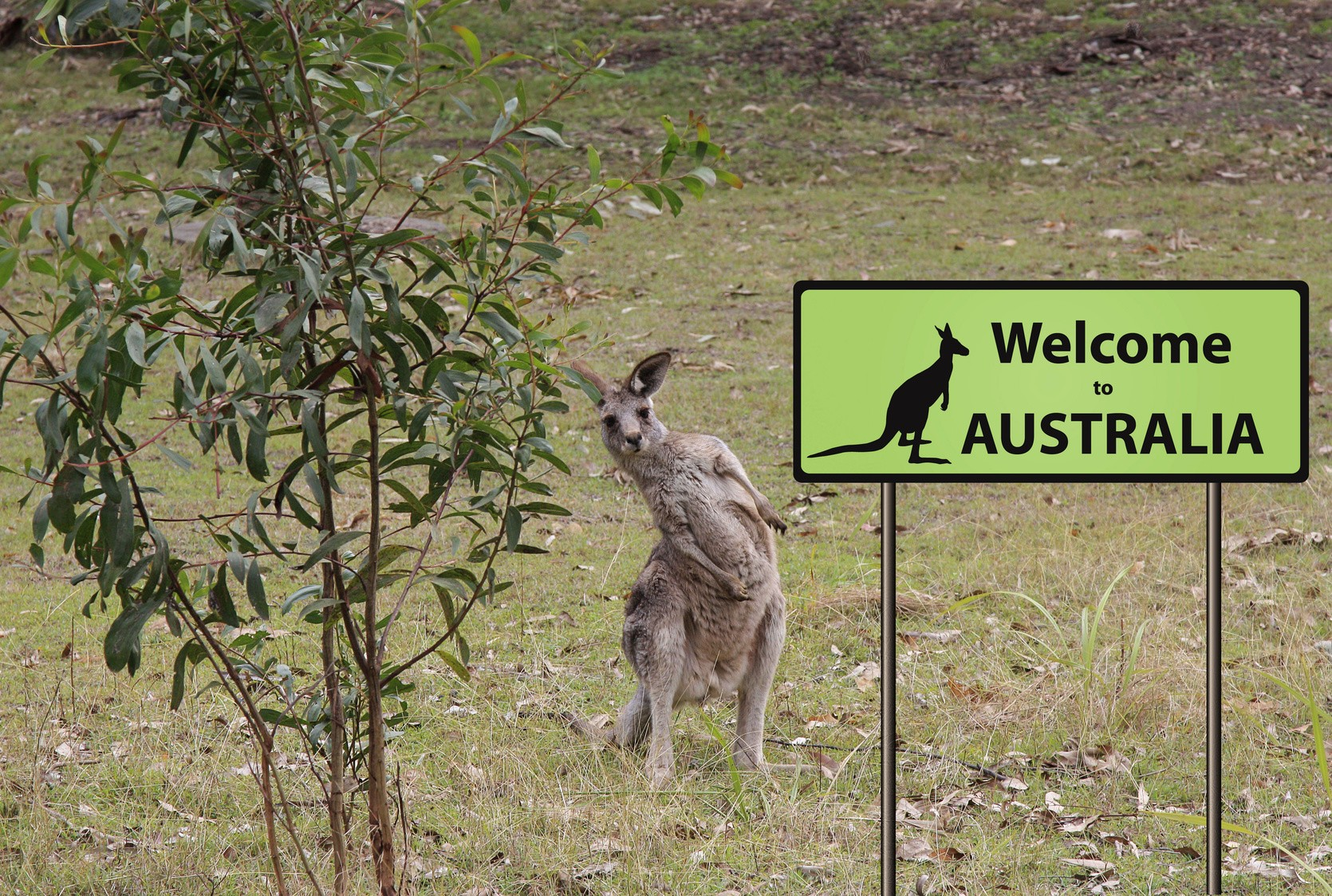 welcome to Australia sign with wild kangaroo