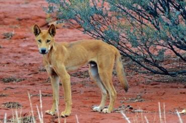 Australische Fauna: Dingos