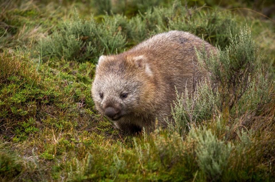 Australische Fauna: Wombats