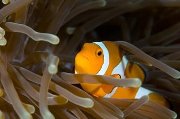 Australiens Unterwasserwelt: Der Clownfisch