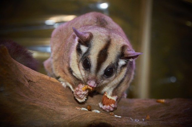 Australische Fauna: Sugar Glider