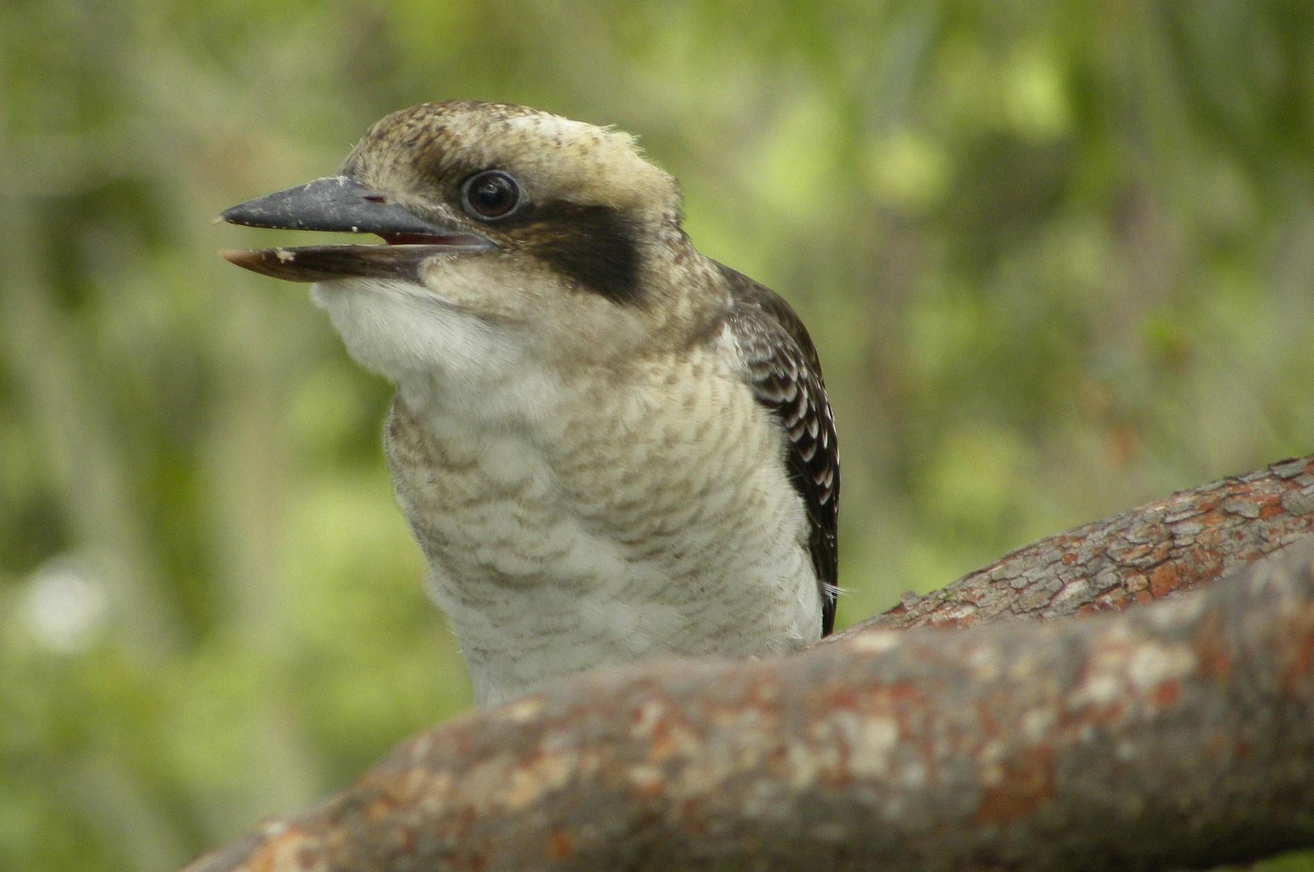 Australiens Tierwelt: Der Kookaburra