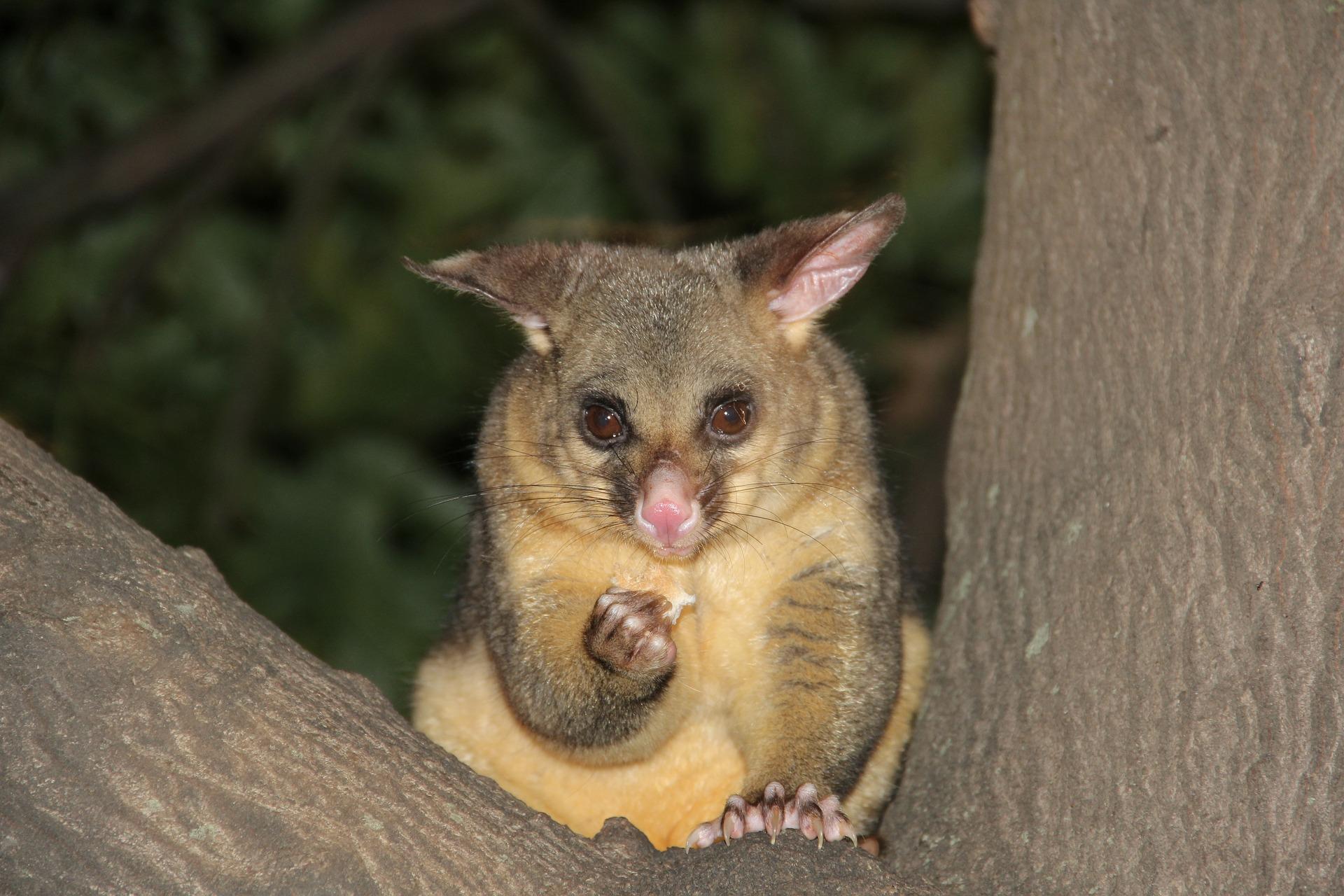 Das Possum – der Waschbär Australiens