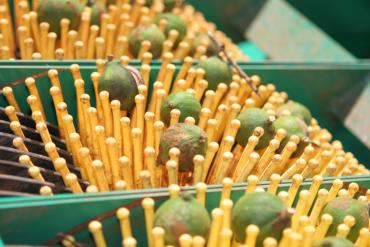 Macadamiamärz: Start der Ernte