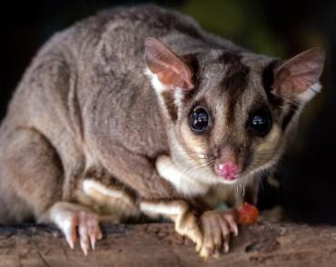 Australiens Tierwelt: Der Kurzkopfgleitbeutler