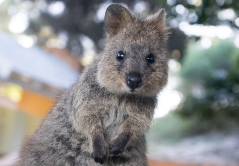 Australiens Tierwelt: das fröhliche Quokka