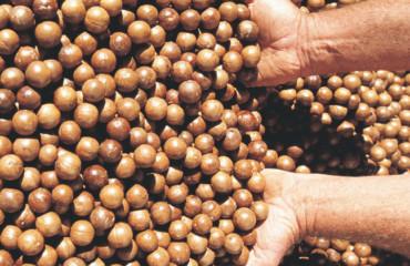 """Warum Macadamia-Bauern als die """"Grünen"""" der Gartenbauindustrie gelten"""