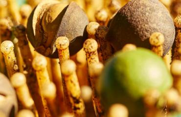 Beginn der Macadamia-Ernte: Wie funktioniert das?